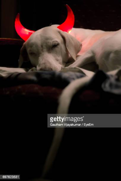 close-up of dog relaxing at home - devil costume stock photos and pictures