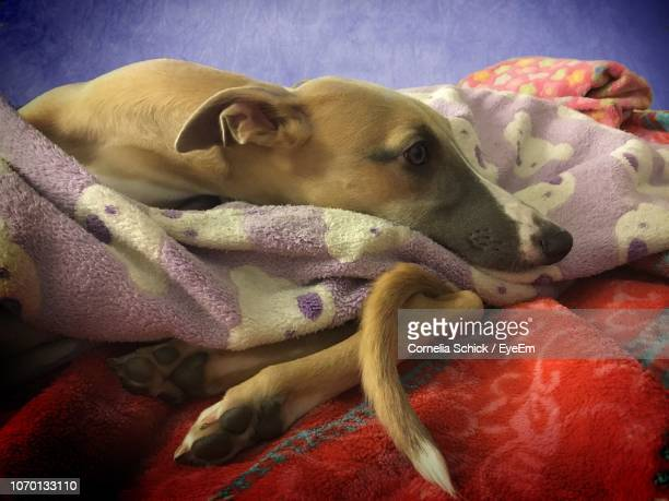 close-up of dog relaxing on bed - erlangen stock photos and pictures