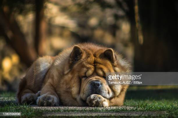 close-up of dog relaxing on field - chow dog stock pictures, royalty-free photos & images