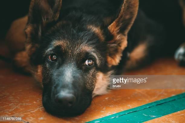 close-up of dog relaxing on floor at home - cão pastor alemão - fotografias e filmes do acervo