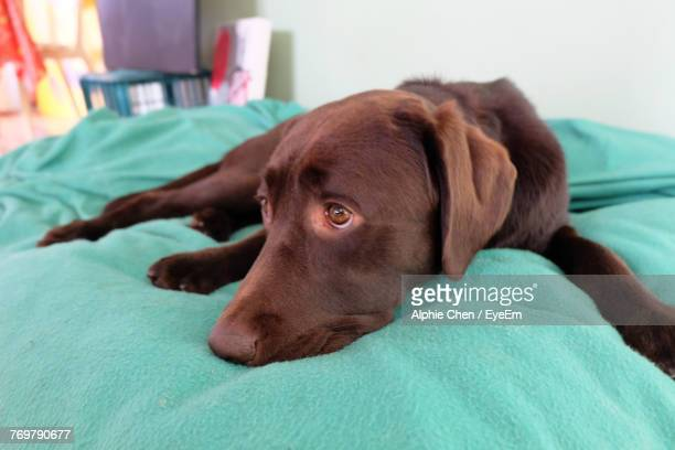 close-up of dog resting on bed at home - at home ストックフォトと画像
