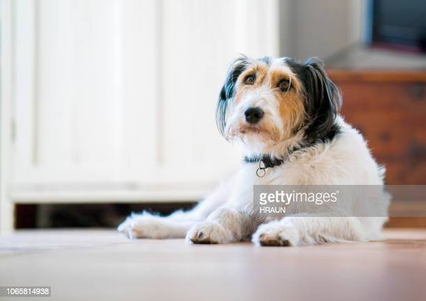 close-up of dog resting on floor at home - seeing eye dog stock photos and pictures