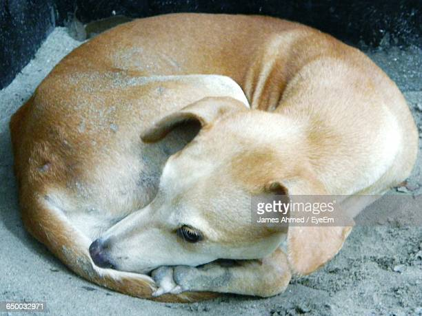 Close-Up Of Dog Resting On Ground