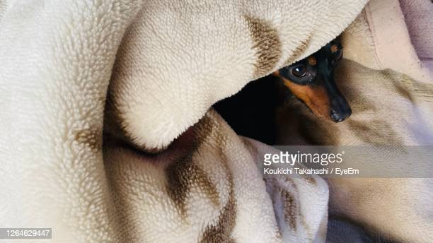 close-up of dog resting - koukichi stock pictures, royalty-free photos & images