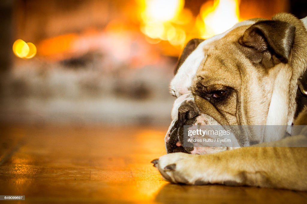 Close-Up Of Dog Resting : Stock Photo