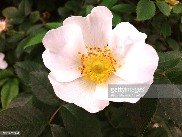 close-up of dog rose flower - dog rose stock photos and pictures
