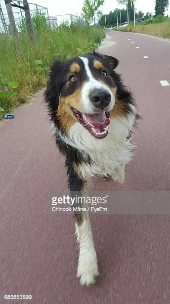 close-up of dog running on road - chinook dog stock photos and pictures