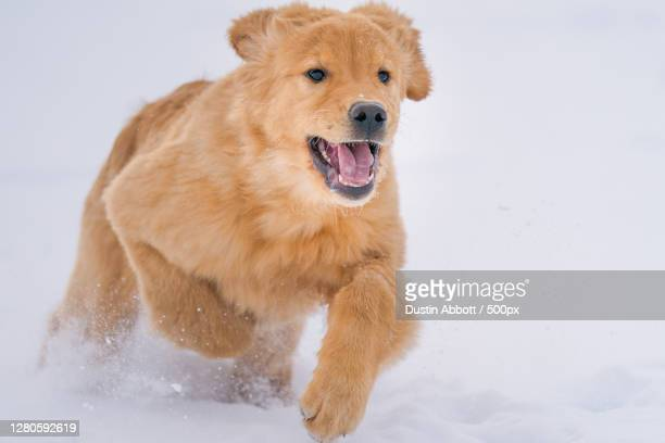close-up of dog running on snow, petawawa, ontario, canada - dustin abbott imagens e fotografias de stock