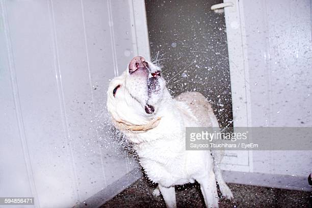 Close-Up Of Dog Shaking Head
