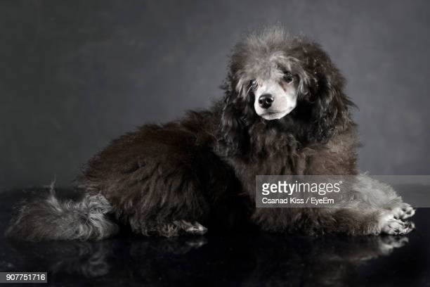 Close-Up Of Dog Sitting Against Gray Background