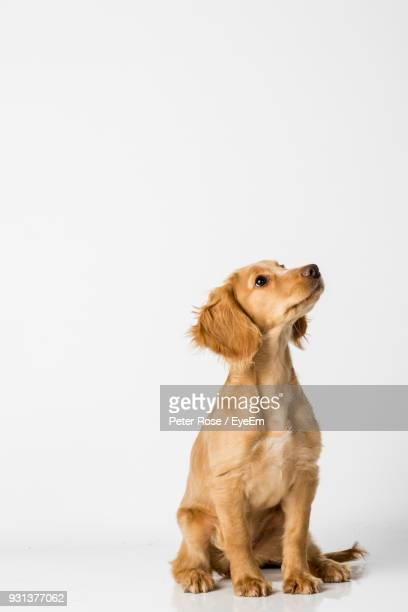 close-up of dog sitting against white background - hund stock-fotos und bilder