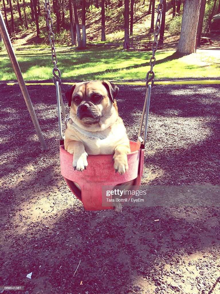Close-Up Of Dog Sitting In Swing At Park : Stock Photo