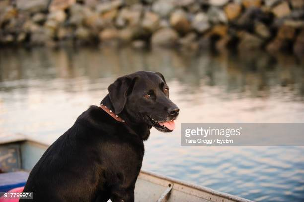 close-up of dog sitting on boat by lake - labrador preto imagens e fotografias de stock