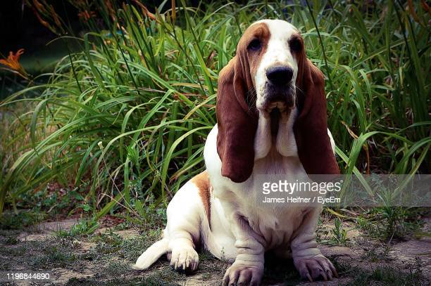 close-up of dog sitting on grass - basset hound stock pictures, royalty-free photos & images