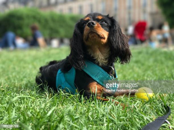 close-up of dog sitting on grass - cavalier king charles spaniel photos et images de collection