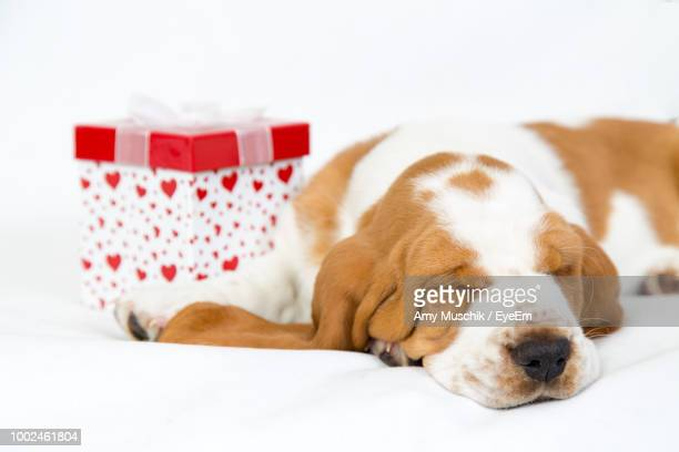 Close-Up Of Dog Sleeping By Gift Against White Background