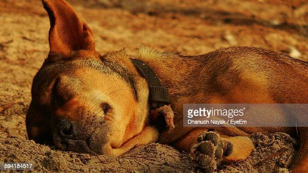Close-Up Of Dog Sleeping On Beach