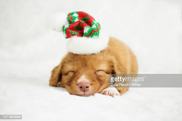 close-up of dog sleeping on bed - nova scotia duck tolling retriever stock pictures, royalty-free photos & images