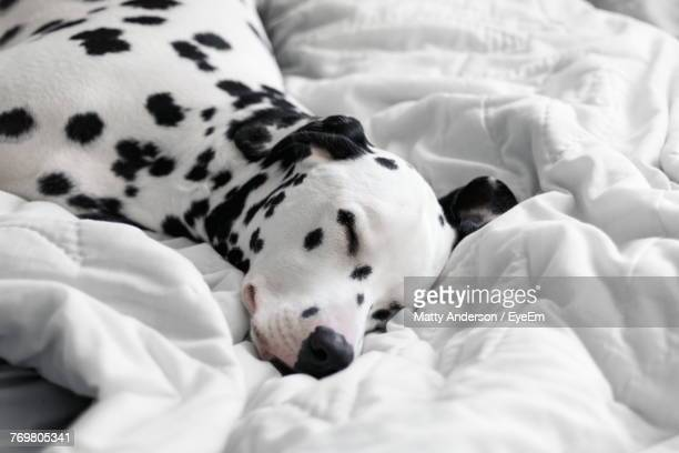 close-up of dog sleeping on bed - dalmatian dog stock photos and pictures