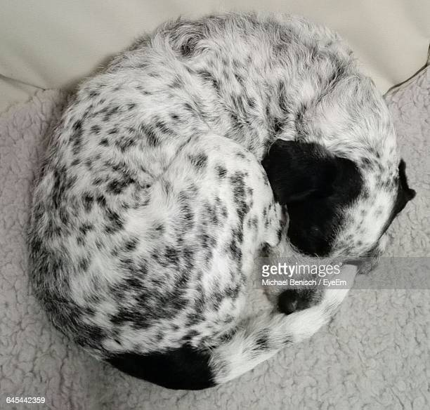close-up of dog sleeping on rug - curled up stock pictures, royalty-free photos & images