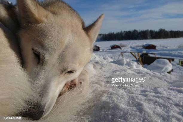 close-up of dog sleeping on snow covered field - peter snow stock pictures, royalty-free photos & images