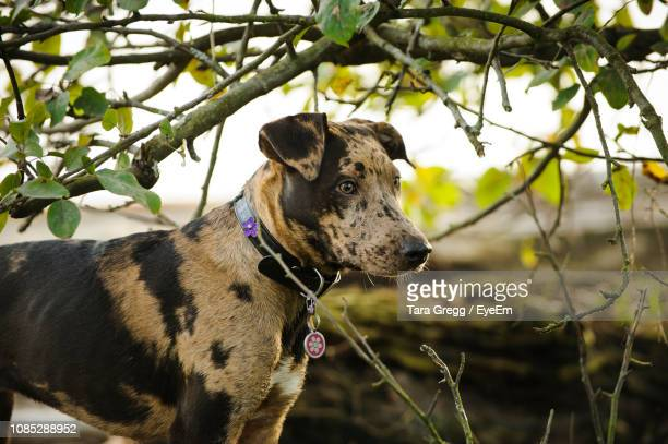 close-up of dog standing by plant - catahoula leopard dog stock photos and pictures