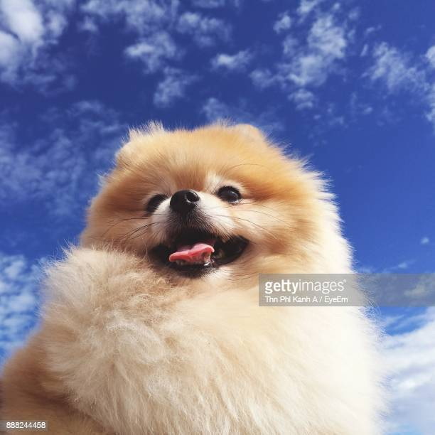 close-up of dog sticking out tongue against blue sky - volpino di pomerania foto e immagini stock
