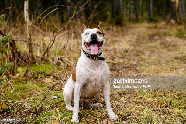 close-up of dog sticking out tongue while sitting on grassy field - pit bull terrier stock photos and pictures
