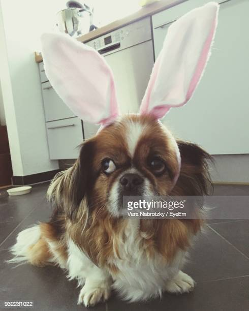 close-up of dog wearing bunny ears headband at home - dog easter stock pictures, royalty-free photos & images