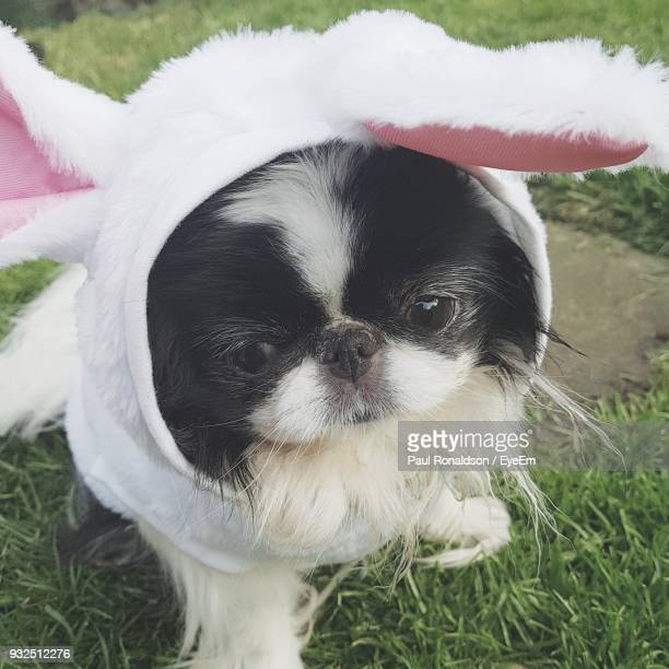 close-up of dog wearing bunny ears headband on grassy field - dog easter stock pictures, royalty-free photos & images