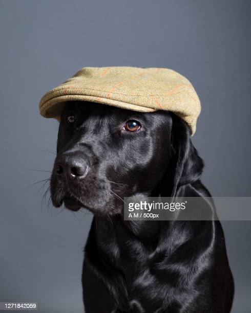 close-up of dog wearing hat against gray background, london, united kingdom - hat stock pictures, royalty-free photos & images