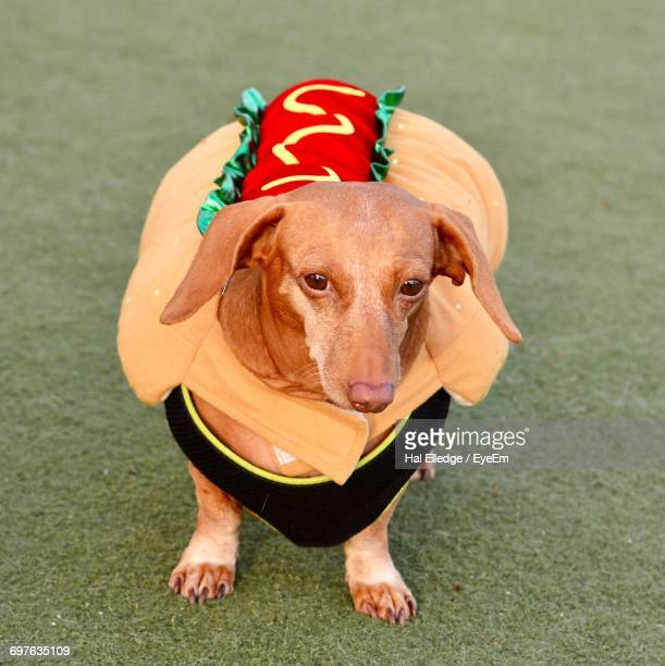 close-up of dog wearing hotdog costume - dachshund holiday stock pictures, royalty-free photos & images