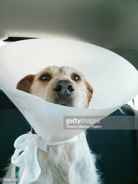 close-up of dog wearing protective collar in car - protective collar stock pictures, royalty-free photos & images