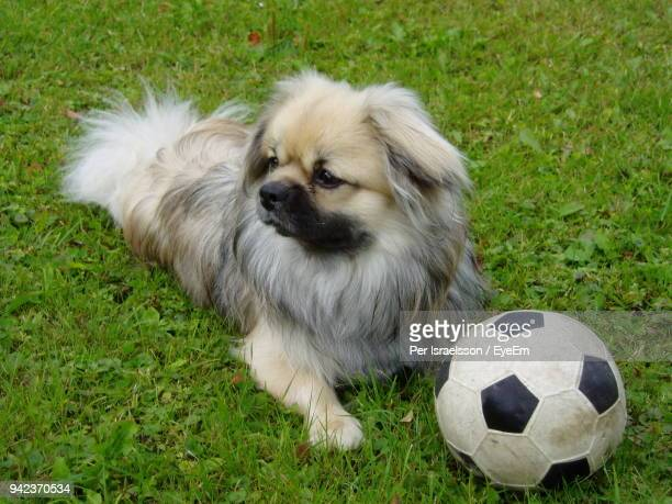 close-up of dog with ball on field - football bulge stock photos and pictures