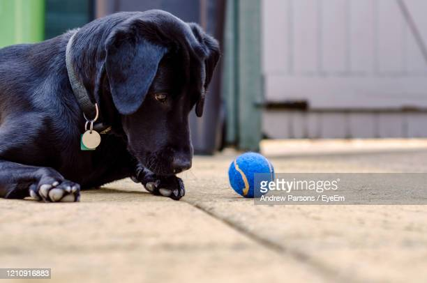 close-up of dog with ball - black labrador stock pictures, royalty-free photos & images
