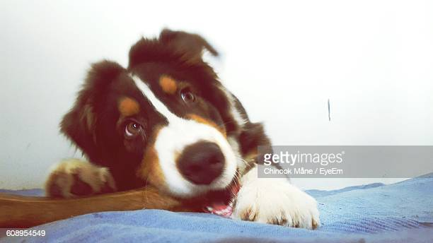 close-up of dog with bone in mouth - chinook dog stock photos and pictures