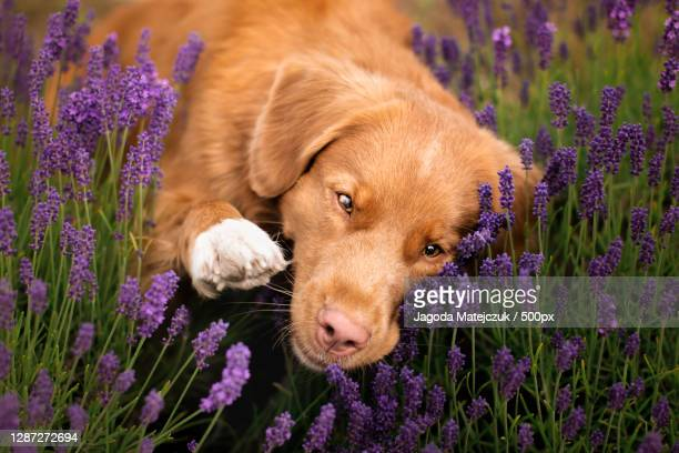 close-up of dog with flowers on field,wilnowo,poland - nova scotia duck tolling retriever stock pictures, royalty-free photos & images