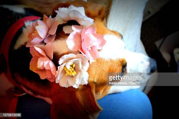 close-up of dog with flowers - karen mckay stock photos and pictures