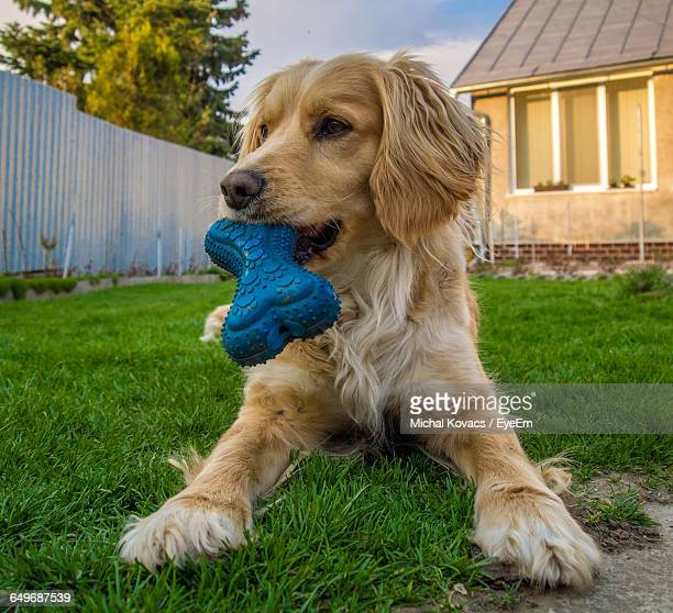 Close-Up Of Dog With Rubber Bone In Its Mouth