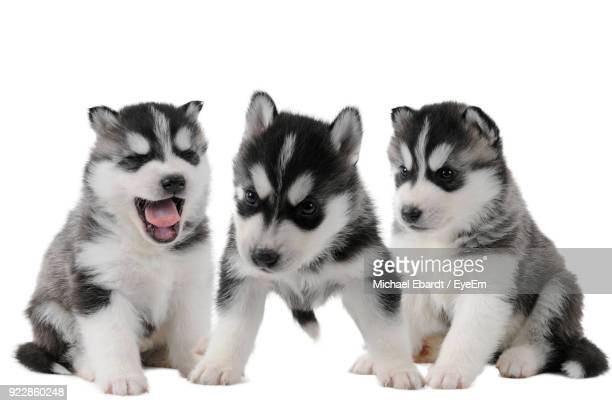 Close-Up Of Dogs Against White Background