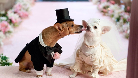 Close-Up Of Dogs In Bride And Groom On Pink Textile - gettyimageskorea