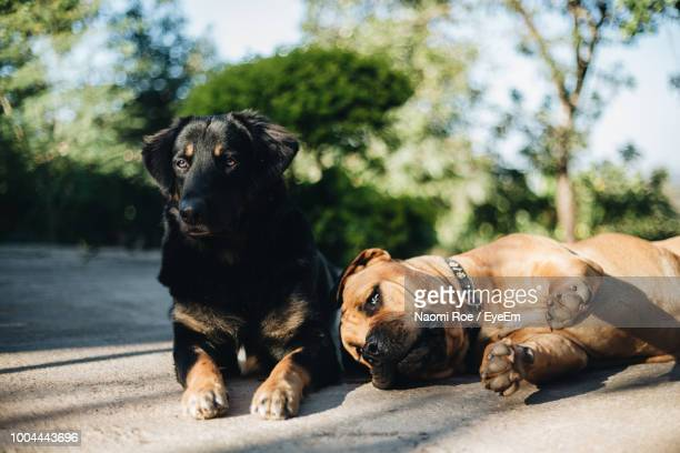 close-up of dogs resting at park - two animals stock pictures, royalty-free photos & images