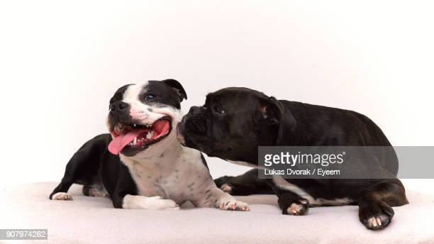 Close-Up Of Dogs Sitting Against White Background