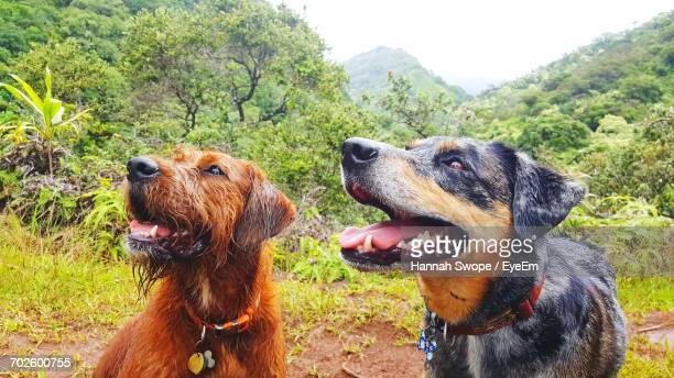 close-up of dogs standing on field - catahoula leopard dog stock photos and pictures