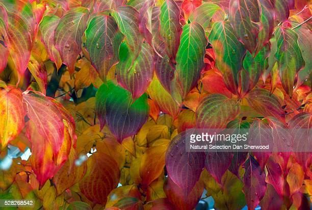 close-up of dogwood leaves in autumn - dan sherwood photography stock pictures, royalty-free photos & images