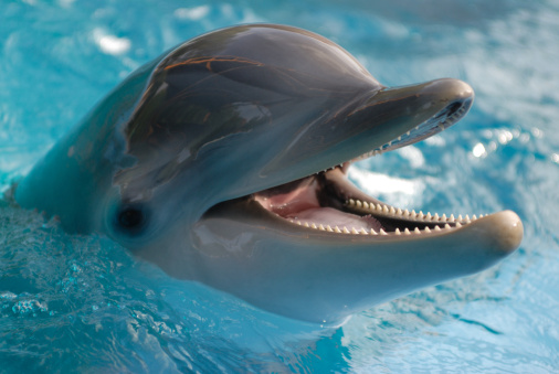 Close-up of dolphin in water with its mouth open 157396697