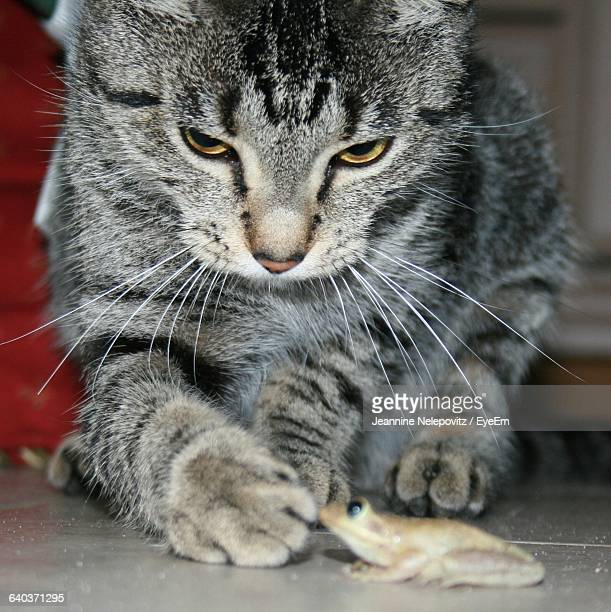 Close-Up Of Domestic Cat Playing With Frog