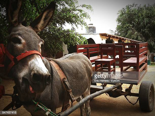 Donkey Pulling Cart Stock Photos And Pictures Getty Images