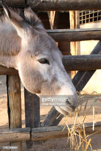 close-up of donkey eating hay - donkey stock pictures, royalty-free photos & images
