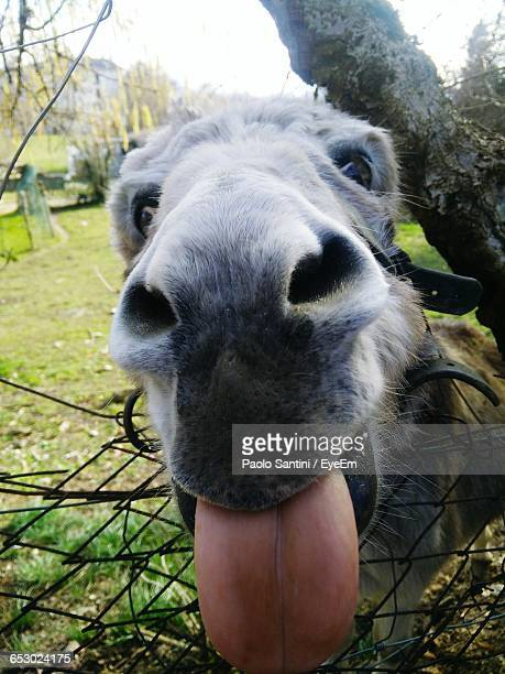 close-up of donkey making face by fence on field - jackass images stock pictures, royalty-free photos & images